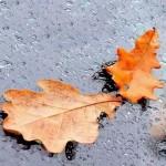 желтые листья дуба