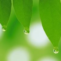 капельки воды на листьях