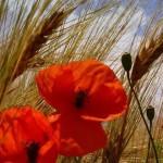маки среди пшеницы