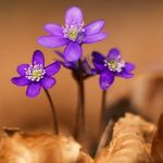 цветы сквозь листья