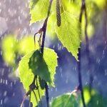 березовые веточки под дождем