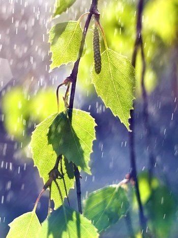 березовая веточка под дождём