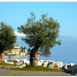 Оливы на берегу озера Гарда