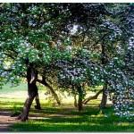 Цветущие кустарники в Александровском саду