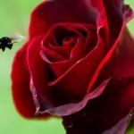 роза и шмель
