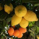 плоды лимона и апельсина