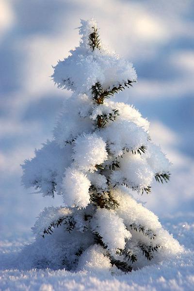 маленькая елочка под снегом