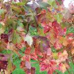 красные листья осени